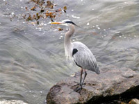 Great-Blue-Heron-WC-3-17-07
