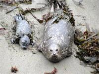 Harbor-Seal-Mom-&-Pup-&-Kel