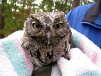Screech-Owl-Release-08-9-6i